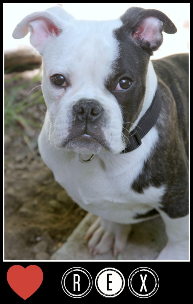 Old English Bulldog Puppy, Rex, Theresa Huse 2013-1063