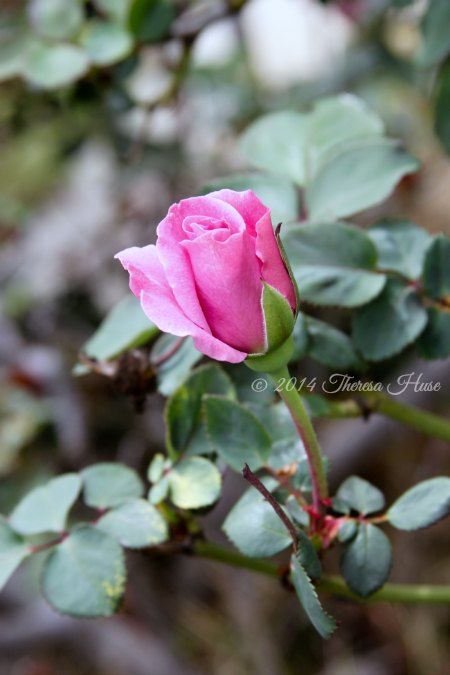Rose bud blooming on a vine_rose_pink rose_