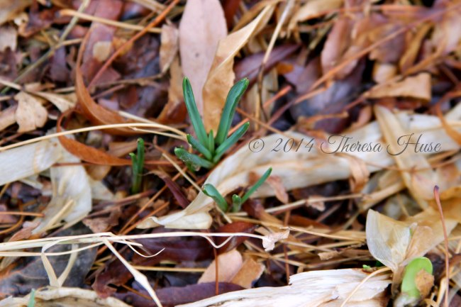 spring bulbs popping out of the ground_