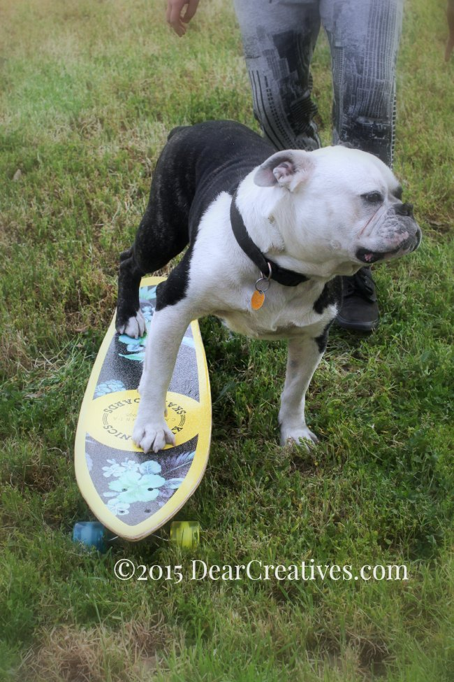 Lifestyle |Photography| Bulldog on a skateboard