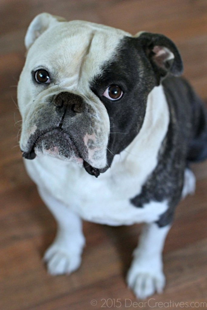 Family Pets: English Bulldog close up