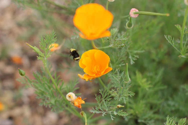 Fun things to do. San Luis Obispo Botanical Garden- DearCreatives.com California poppy flowers with a bumble bee flying out of after pollination