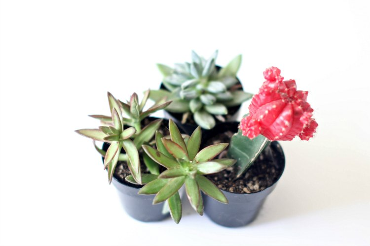 succulents in pots close up taken with camera - DearCreatives.com