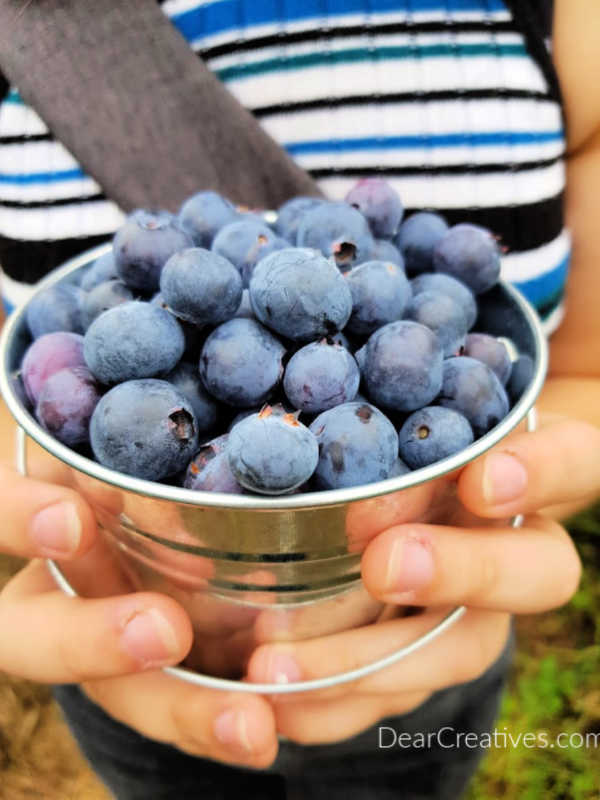 Fresh Picked Blueberries for blueberry recipes and for our blueberry coffee cake - DearCreatives.com
